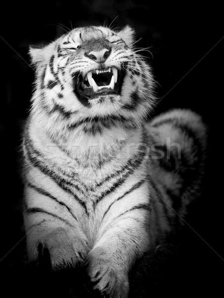 Zwarte witte tijger winter portret dier Stockfoto © art9858