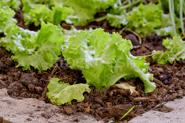 Lettuce planting n the Pesticide residue free garden Stock photo © art9858