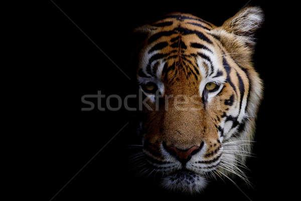 Tijger ogen regen oranje afrika kleur Stockfoto © art9858