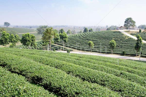green tea plantation landscape Stock photo © art9858