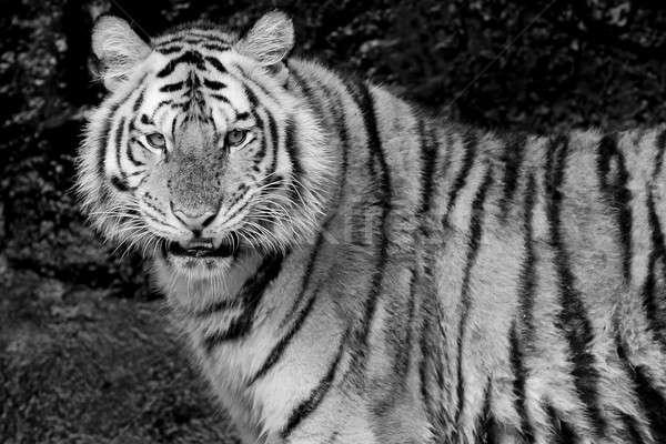 Bengáli tigris szemek természet macska szépség Stock fotó © art9858