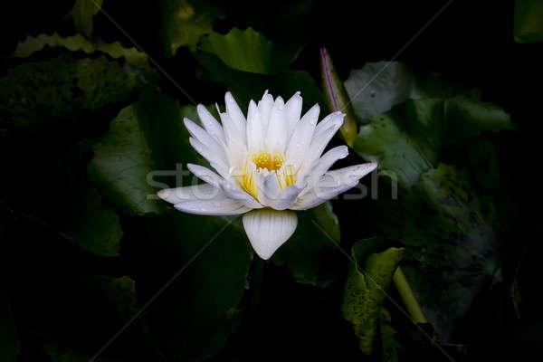 Witte tropische roze mooie lotus Stockfoto © art9858