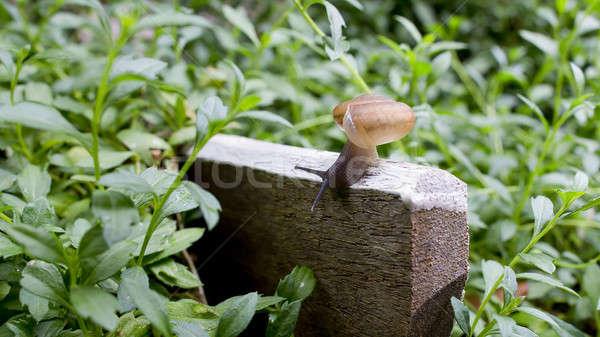a slug in the garden. schneckenplage in the garden Stock photo © art9858