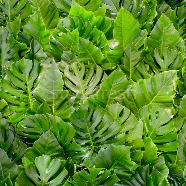 Big green leafs background Stock photo © art9858