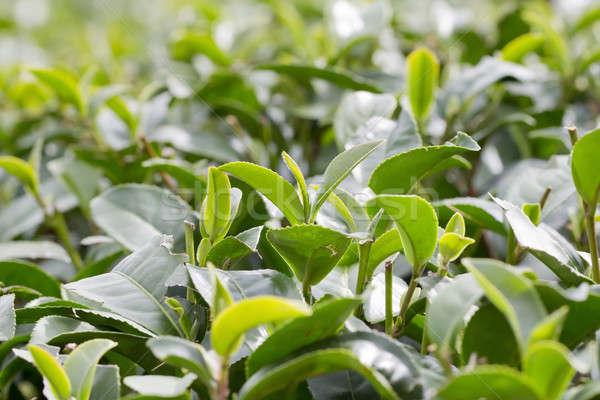 Yeşil çay tomurcuk taze yaprakları çay gökyüzü Stok fotoğraf © art9858