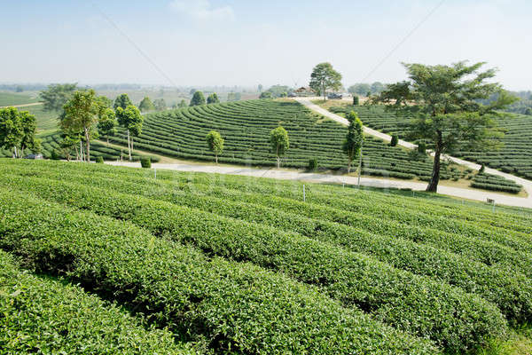 緑茶 農園 風景 ビジネス ツリー 庭園 ストックフォト © art9858