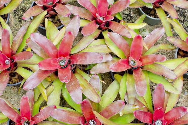Stock photo: Red Bromeliads