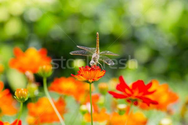 Libélula asas grama natureza beleza verde Foto stock © art9858