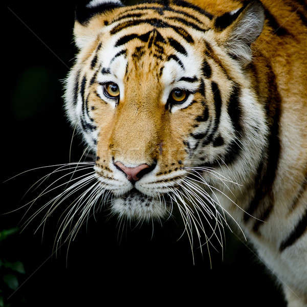 Close Up Tiger Stock photo © art9858