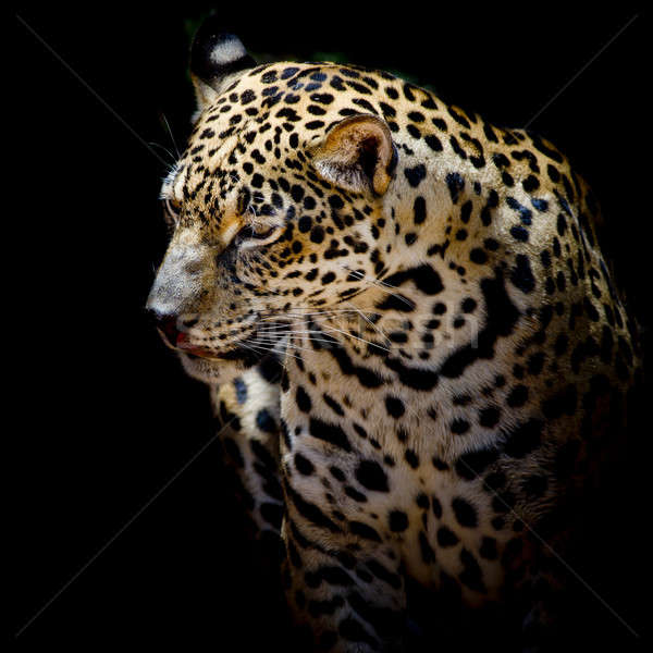 Foto stock: Jaguar · retrato · natureza · arte · África
