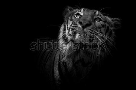 Tijger natuur kat sneeuw winter asian Stockfoto © art9858