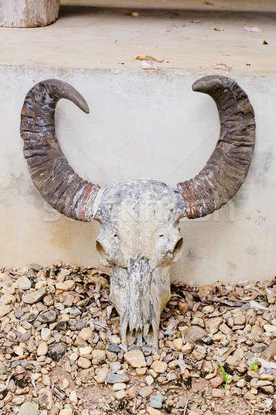 head skull of bull Stock photo © art9858