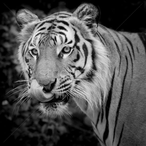 Black and White Tiger looking his prey and ready to catch it. Stock photo © art9858