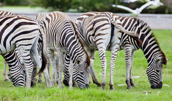 group of zebras Stock photo © art9858