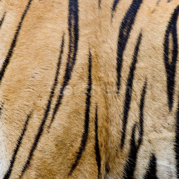 colorful detail of tiger pelt Stock photo © art9858