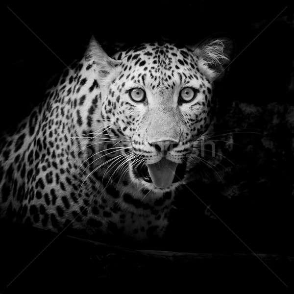 Leopardo retrato cara gato tigre parque Foto stock © art9858