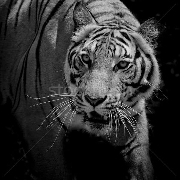 Zdjęcia stock: Czarny · biały · piękna · Tygrys · odizolowany · oczy