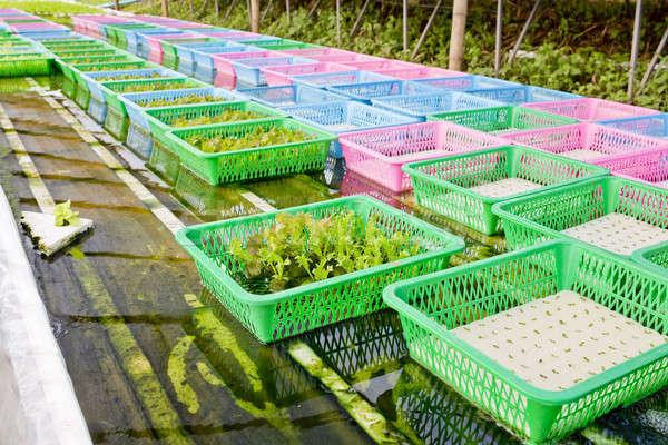 Organisch plantaardige spruit voedsel veld groene Stockfoto © art9858