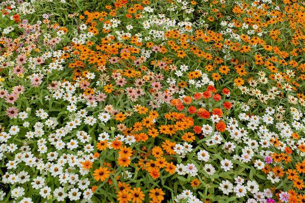 Daisy flores cielo hierba sol naturaleza Foto stock © art9858