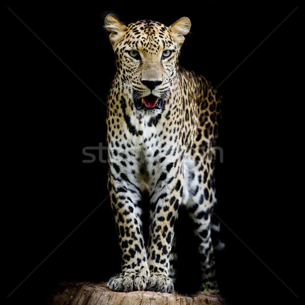 close up Leopard Portrait Stock photo © art9858