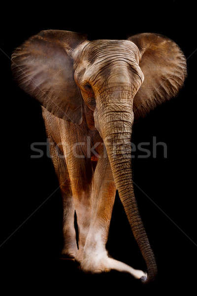 African elephant Stock photo © art9858
