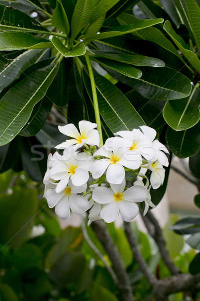 white and yellow frangipani flowers with leaves in background Stock photo © art9858