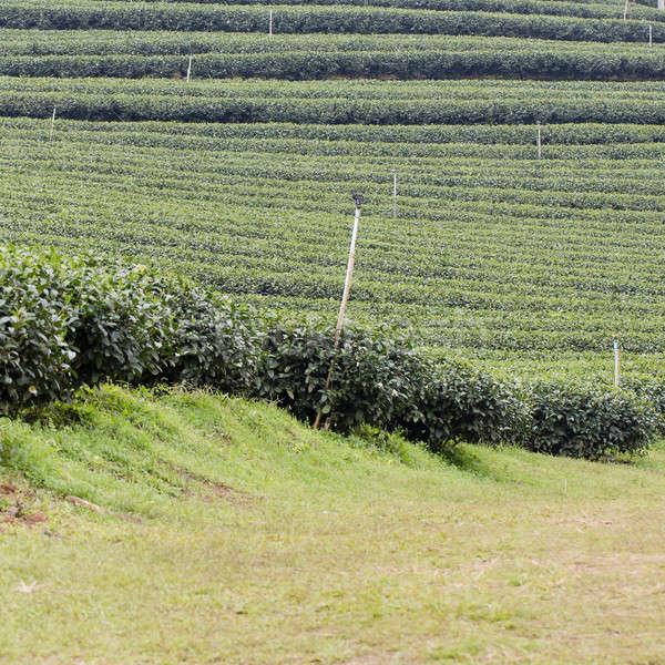 Chá verde plantação paisagem negócio natureza saúde Foto stock © art9858
