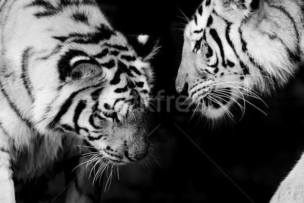 Black & White of two tigers Stock photo © art9858
