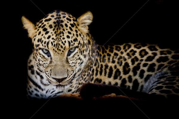 Leopardo retrato preto olho Foto stock © art9858