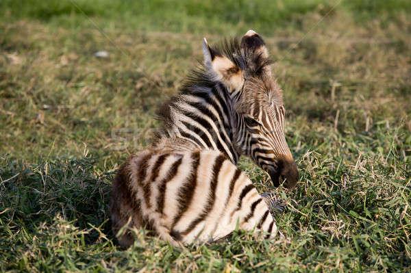 Young Mountain Zebra lying Stock photo © art9858