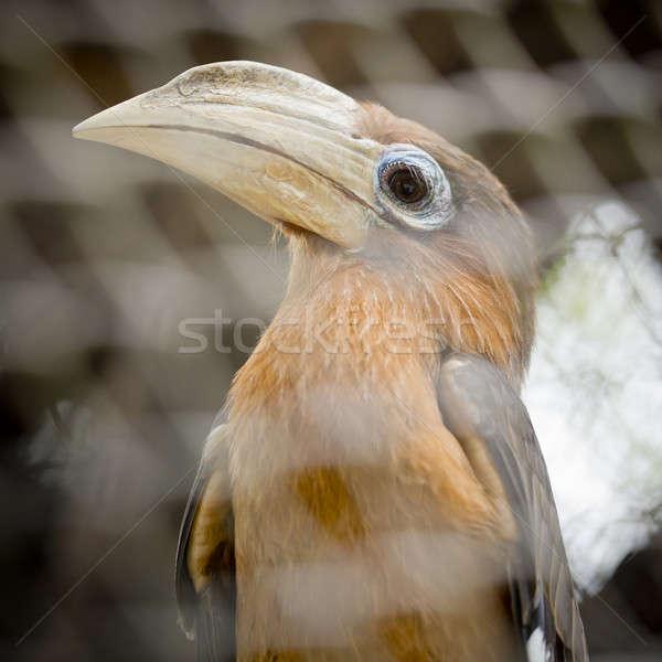 Brown hornbill, Rusty-cheeked hornbill (Anorrhinus tickelli) Stock photo © art9858