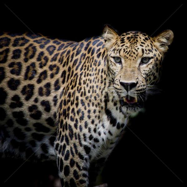 Leopardo retrato cara gato negro rápido Foto stock © art9858
