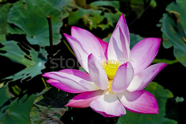 Blossom pink lotus flower Stock photo © art9858