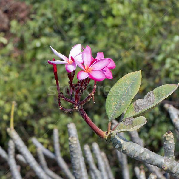 Frangipani tropical flowers, Plumeria flowers fresh Stock photo © art9858