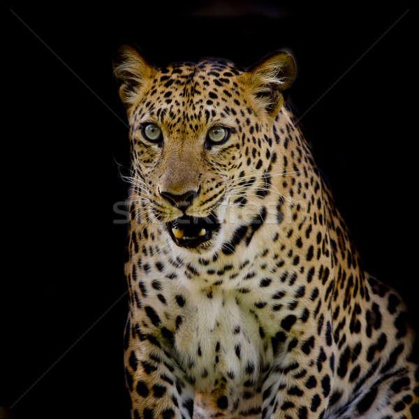 Leopardo retrato cara natureza gato preto Foto stock © art9858