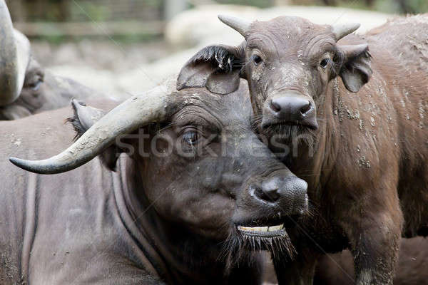 Cute baby African buffalo with it's mother frontal Stock photo © art9858