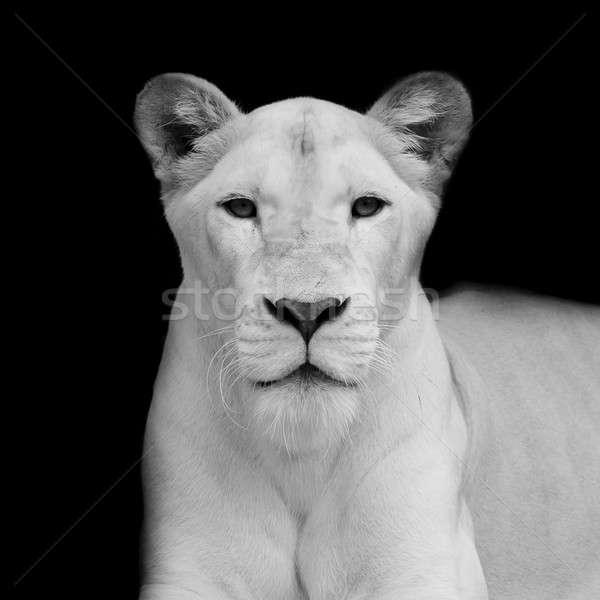 Portret vrouwelijke leeuw afrika park Stockfoto © art9858