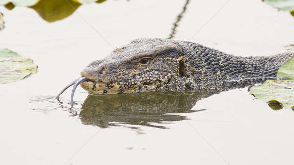 Large monitor lizard in canal Stock photo © art9858