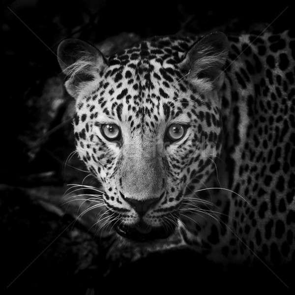 close up Black and White Leopard Portrait Stock photo © art9858