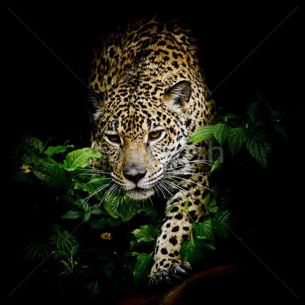 Stock photo: close up Jaguar Portrait