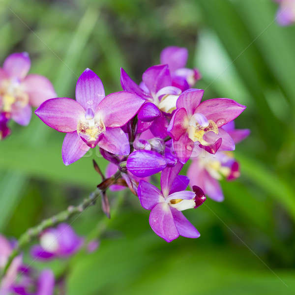 Purple orchid flowers Stock photo © art9858