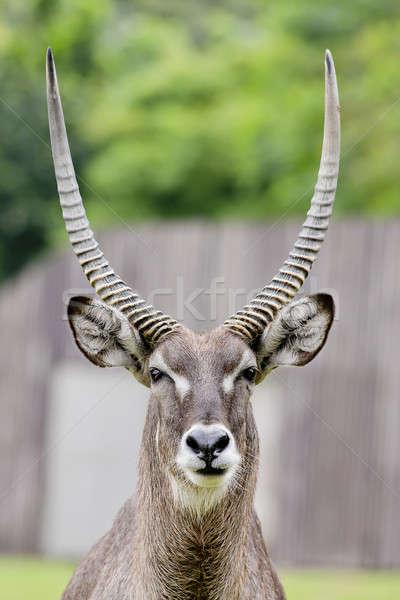 Close up portrait of an impala ram Stock photo © art9858