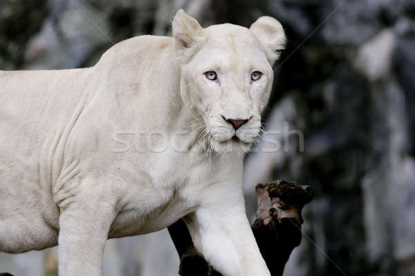 White lion Stock photo © art9858