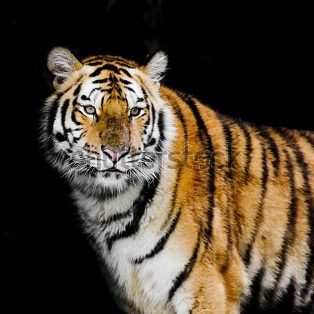 Leopárd kék szemek tigris izolált fekete párduc fekete Stock fotó © art9858