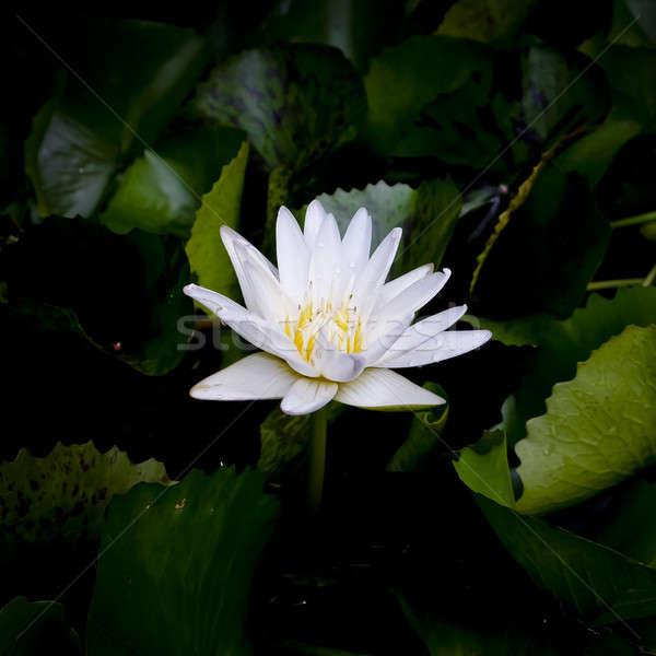 White lotus flower Stock photo © art9858