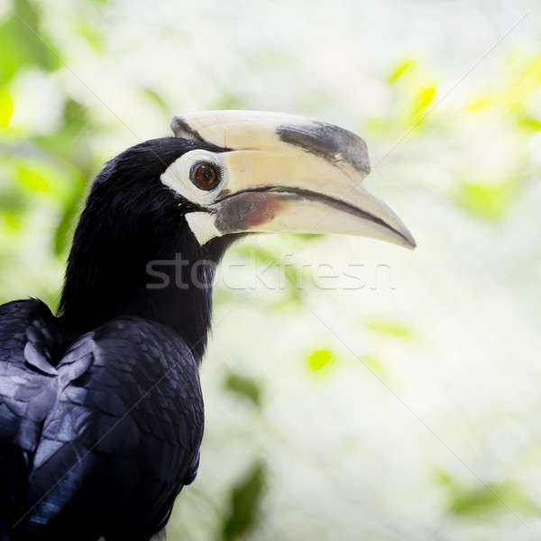 Southern pied-hornbill or Asian Pied-hornbill, Anthracoceros alb Stock photo © art9858