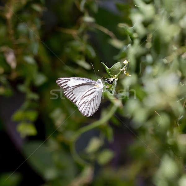 Witte zwarte vlinder bloem natuur zomer Stockfoto © art9858