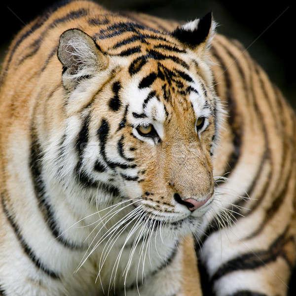 Kaplan yüz güzellik yeşil kafa hayvan Stok fotoğraf © art9858