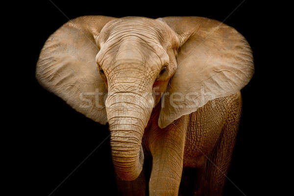 Elefante textura naturaleza retrato negro cabeza Foto stock © art9858