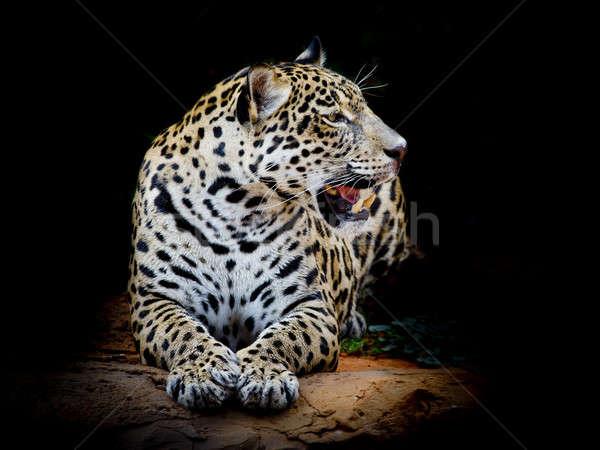 Jaguar портрет природы искусства Африка Сток-фото © art9858